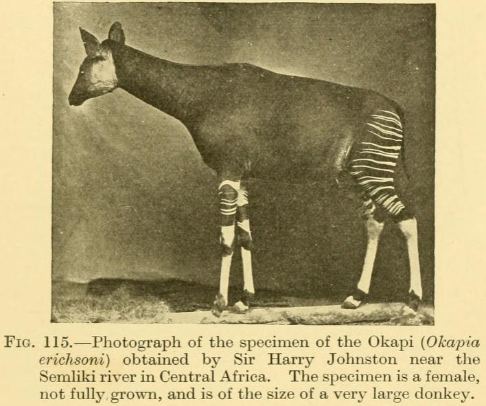 "Text: ""Photograph of the specimen of the Okapi (Okapia erchsoni) obtained by Sir Harry Johnston near the Semliki river in Central Africa. The specimen is a female not fully grown, and is of the size of a very large donkey."""